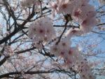 お花見H31.4.8 ふじ